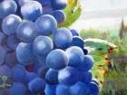 Raisin bleu